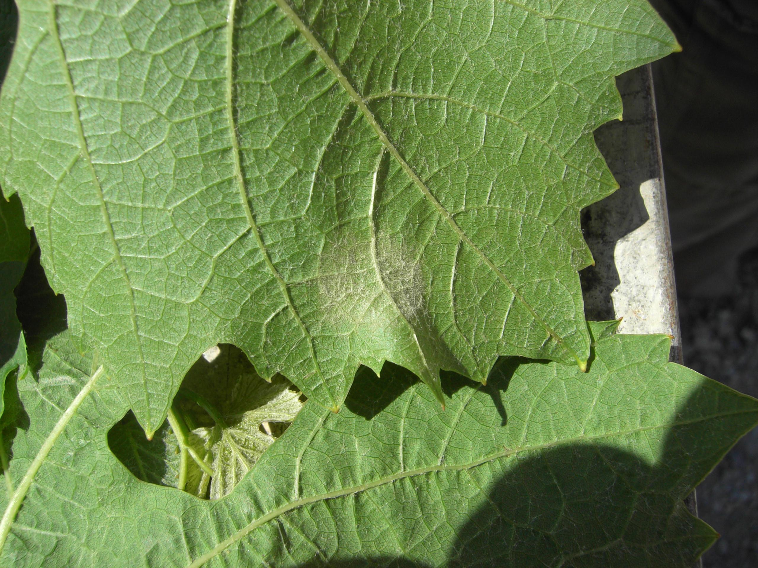 Le risque o dium mod lis pour la vigne - Parasite de la vigne ...
