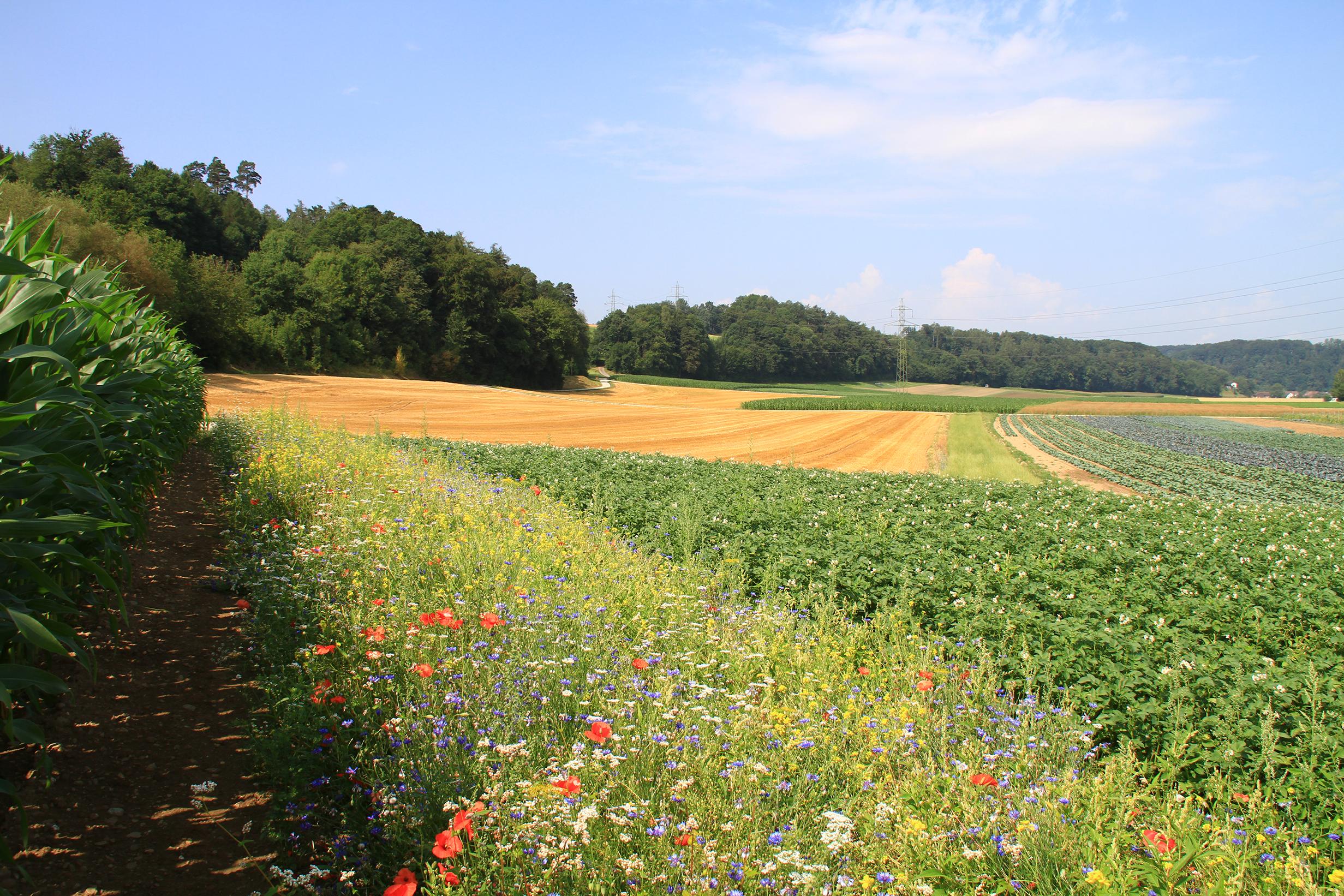 Blühstreifen für Nützlinge lohnen sich